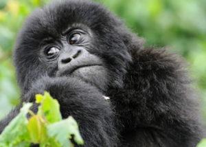 1 Day Congo Gorilla Tour