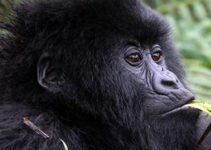 Uganda Gorilla & Wildlife