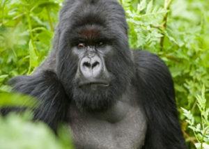Visit Congo Mountain Gorillas