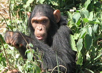 Kibale Chimpanzee tracking