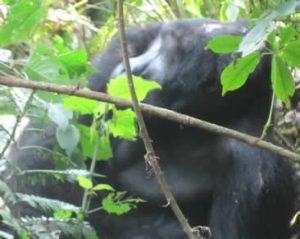 Gorilla Tour Rwanda 4 Days