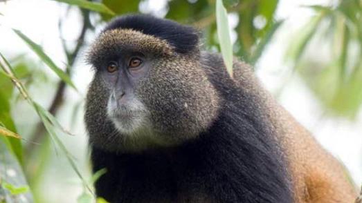 Golden monkey tracking in Rwanda
