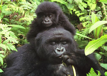 2 Day Gorilla Tour Virunga Congo