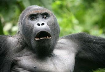 Lowland gorilla tour