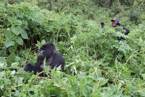 Virunga Mountain Gorilla Tour