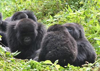 Rwanda Congo Lowland gorilla tour