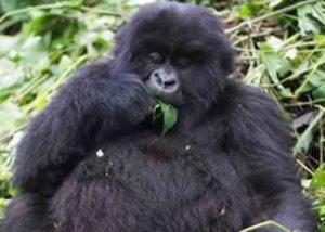 African Mountain gorilla & wildlife safari