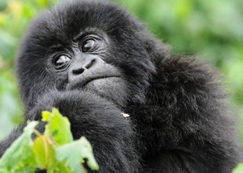 Uganda Congo gorilla safari