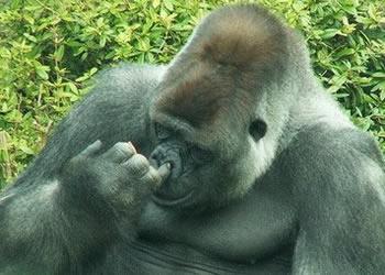 Gorilla watching kahuzi biega