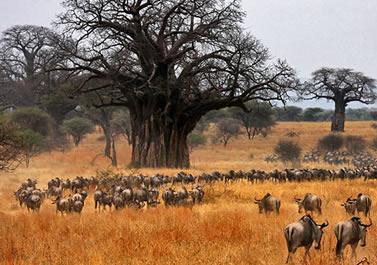 Game drives in Tarangire national park in Tanzania