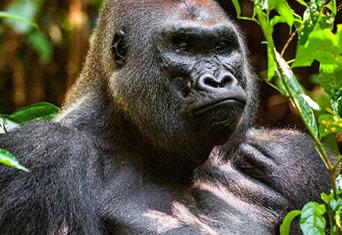Gorilla Treks in Gabon