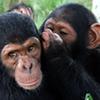 Chimpanzee Tracking in Rwanda