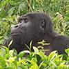 Virunga Gorilla Trekking