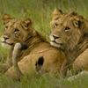 Wildlife Lions