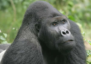 Eastern Lowland Gorillas in Congo