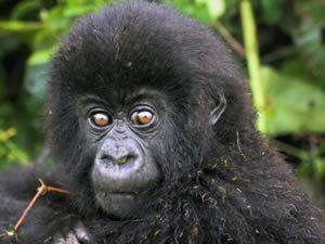 Gorilla Tours in Congo