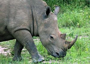 Rhino Tracking in Uganda